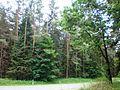 Kazlų Rūdos miškai1.JPG
