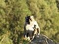 Kelimutu Monkey (198206659).jpeg