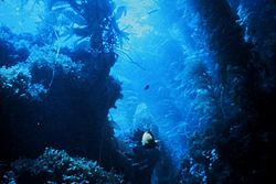 Kelp forest Simple English Wikipedia the free encyclopedia