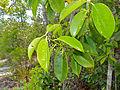 Kerdam (Ilex cymosa) leaves (15580762308).jpg