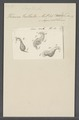 Kerona pullaster - - Print - Iconographia Zoologica - Special Collections University of Amsterdam - UBAINV0274 113 18 0026.tif
