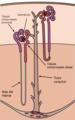 Kidney Nephron es.png