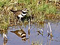 Killdeer on Seedskadee National Wildlife Refuge (33943229250).jpg