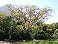 Kirstenbosch - Acacia sieberiana.jpg