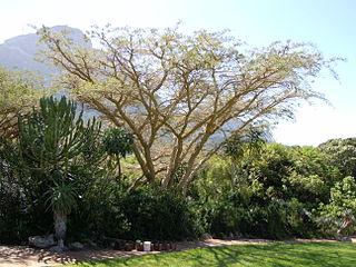 <i>Acacia sieberiana</i> species of plants