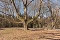 Klagenfurt Gottscheer Strasse 1 Park von Krastowitz alte Eiche 27022015 0059.jpg