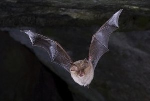 Buckshraft Mine & Bradley Hill Railway Tunnel - Example - Lesser Horseshoe Bat (Rhinolophus hipposideros)
