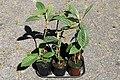 Kluse - Eriobotrya japonica - Japanische Wollmispel 01 ies.jpg