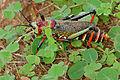 Koppie Foam Grasshopper (Dictyophorus spumans pulchra) (16478475457).jpg
