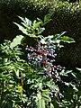 Korina 2010-08-21 Mahonia aquifolium.jpg