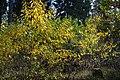 Korina 2013-10-22 Prunus serotina 1.jpg