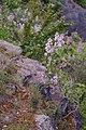 Korina 2017-05-07 Syringa vulgaris 3.jpg