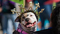 Krewe of Barkus and Meoux Pet Parade, Shreveport, LA Fleur-de-Lis Dog.jpg