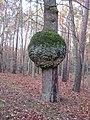 Kugelbaum - Laune der Natur - panoramio.jpg