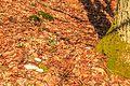 Kvetoucí sněženky v PP Sněženky ve Vysokém lese 18.jpg