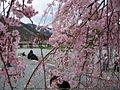 Kyoto sakura arashiyama.jpg