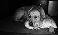 Labrador Retriever, resting (bw).jpg