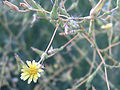 Lactuca serriola flowerCloseup 2009-6-13 DehesaBoyaldePuertollano.jpg