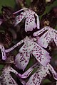 Lady Orchid - Orchis purpurea - panoramio (79).jpg