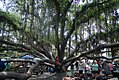 Lahaina Banyan tree & market (19459688352).jpg