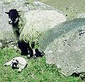 Lamboffspring.jpg