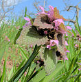 Lamium purpureum in the spring2.jpg