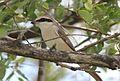 Lanius phoenicuroides, Vila de Sena, Birding Weto, f.jpg
