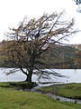 Larch, St Mary's Loch - geograph.org.uk - 282493.jpg