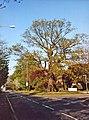 Large Oak Tree corner Merryhills Drive and Bramley Road, Enfield - geograph.org.uk - 889358.jpg