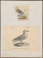 Larus glaucus - 1700-1880 - Print - Iconographia Zoologica - Special Collections University of Amsterdam - UBA01 IZ17900232.tif