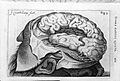Lateral view of cerebral hemisphere. Fissue of Sylvius. Wellcome L0002485.jpg