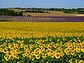 Lavendel-Sunflower - panoramio.jpg