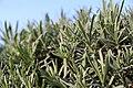 Lavendel Mailette (Lavandula angustifolia) Blumengärten Hirschstetten Wien 2014 c.jpg