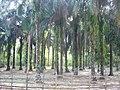 Lawachara National Park Srimongol Sylhet Bangladesh 5.JPG