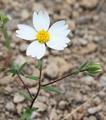 Layia glandulosa white layia flower bud.png
