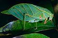 Leaf Katydid (Tettigoniidae) (13908990358).jpg