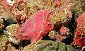 Leaf Scorpionfish (Taenianotus triacanthus) (6087840527).jpg