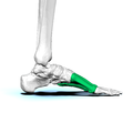 Left Metatarsal bones04 medial view.png