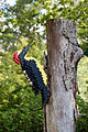 Legoland Windsor - Woodpecker (2835078647).jpg