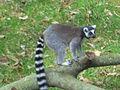 Lemur 13 March 2010.jpg