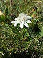 Leontopodium alpinum subsp. alpinum sl1.jpg