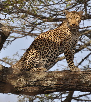 English: leopard standing in a tree in the cen...