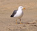 Lesser Black-backed Gull (3303854335).jpg