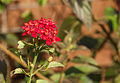 Letzte Blüten Wandelröschen (15628067549).jpg