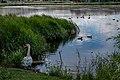 Liebiadziny reserve (Belarus) 35 — Swan and ducks.jpg