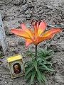 Lilium dauricum var alpinum x Apollo.jpg