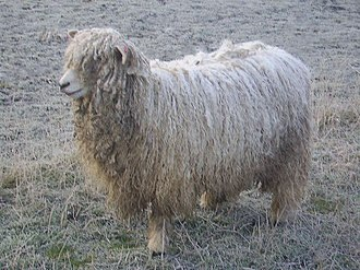Lincoln sheep - A Lincoln Longwool lamb showing heavy fleece