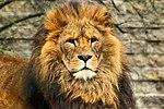 Lion - Linton Zoo (16308679973).jpg
