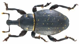<i>Liparus coronatus</i> species of insect