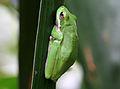 Litoria fallax, Eastern Dwarf Tree Frog, Brisbane.jpg